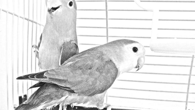 papagali3